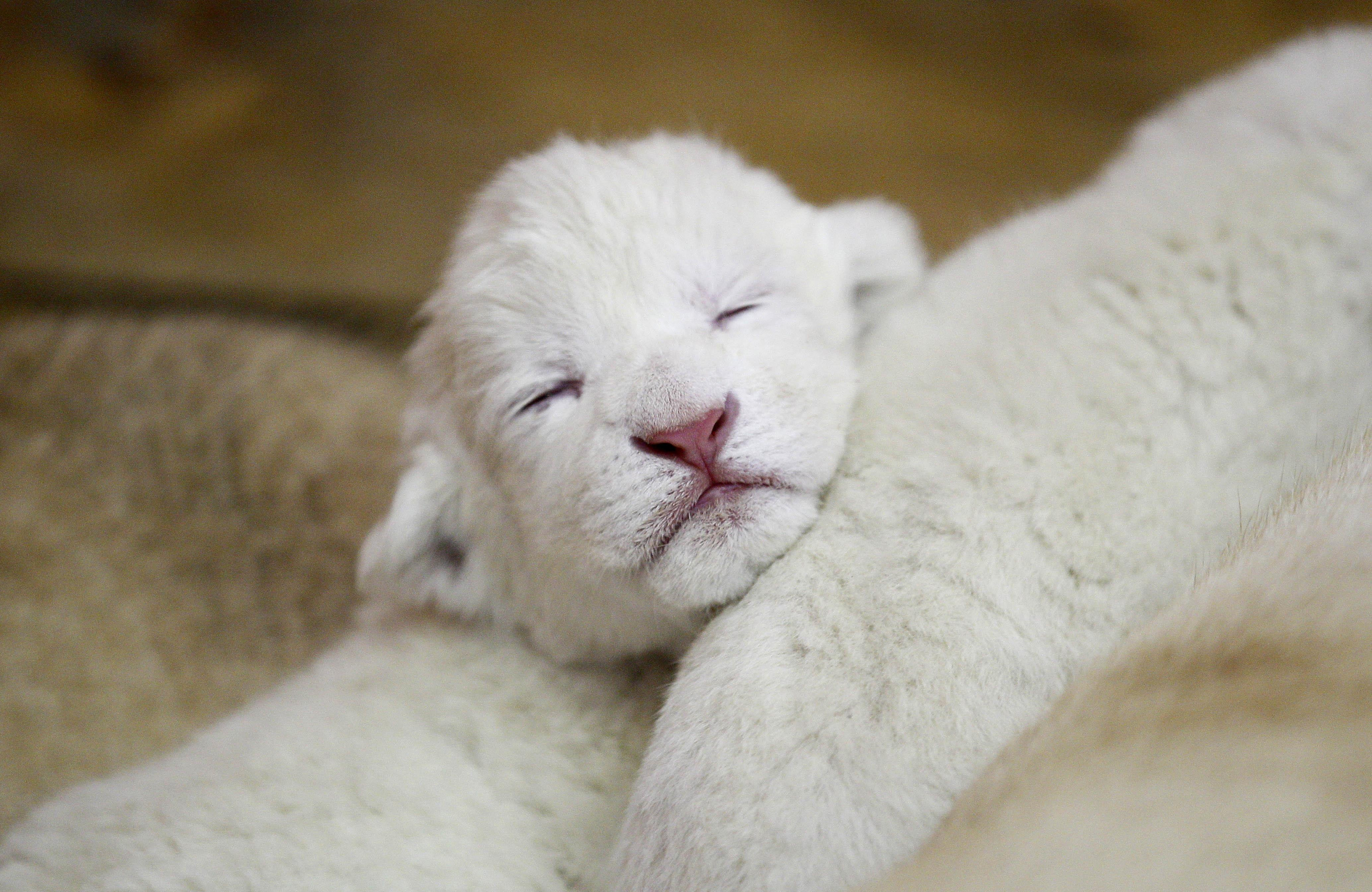 Lions White Baby Lion Cubs